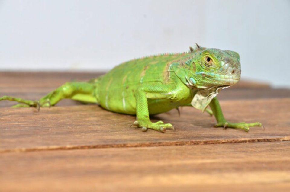 las iguanas y otros reptiles transmiten la salmonela