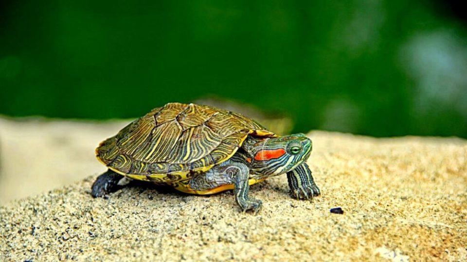 Las tortugas son animales peligrosos para tener con niños