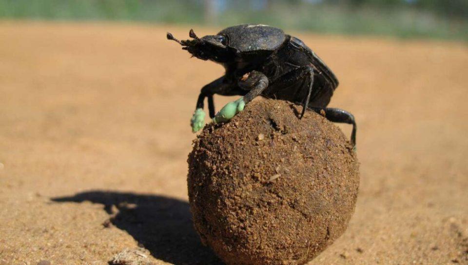 Escarabajo pelotero, el primero de los animales más fuertes del mundo