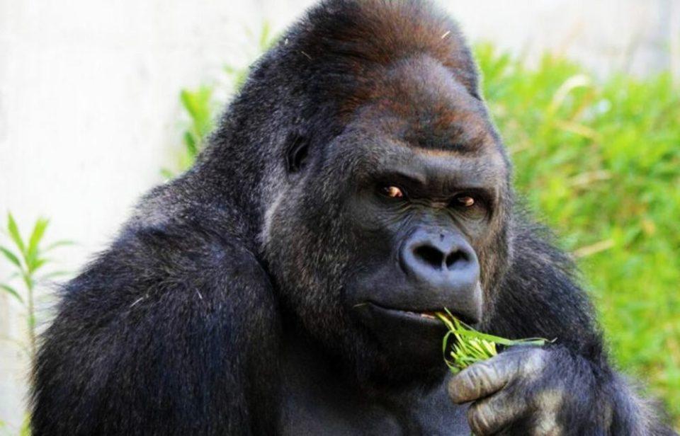 Gorila, otro de los animales más fuertes del mundo
