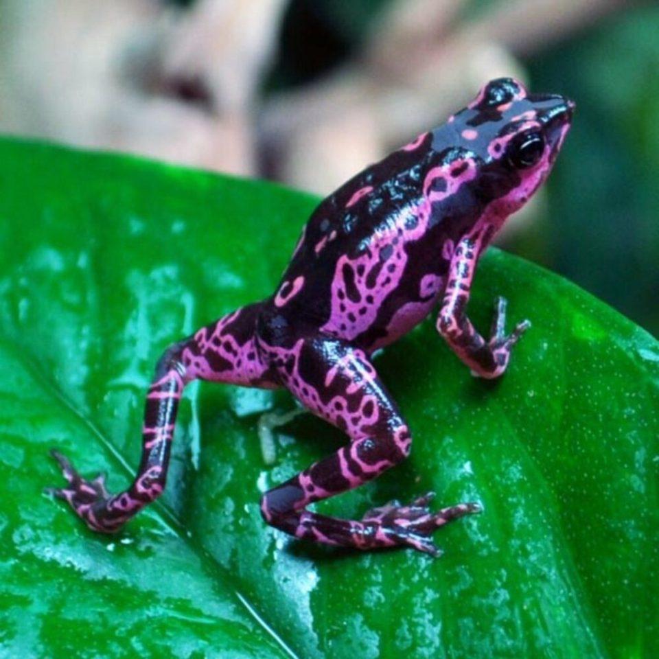 Rana Arlequín, una de las ranas más bonitas del mundo