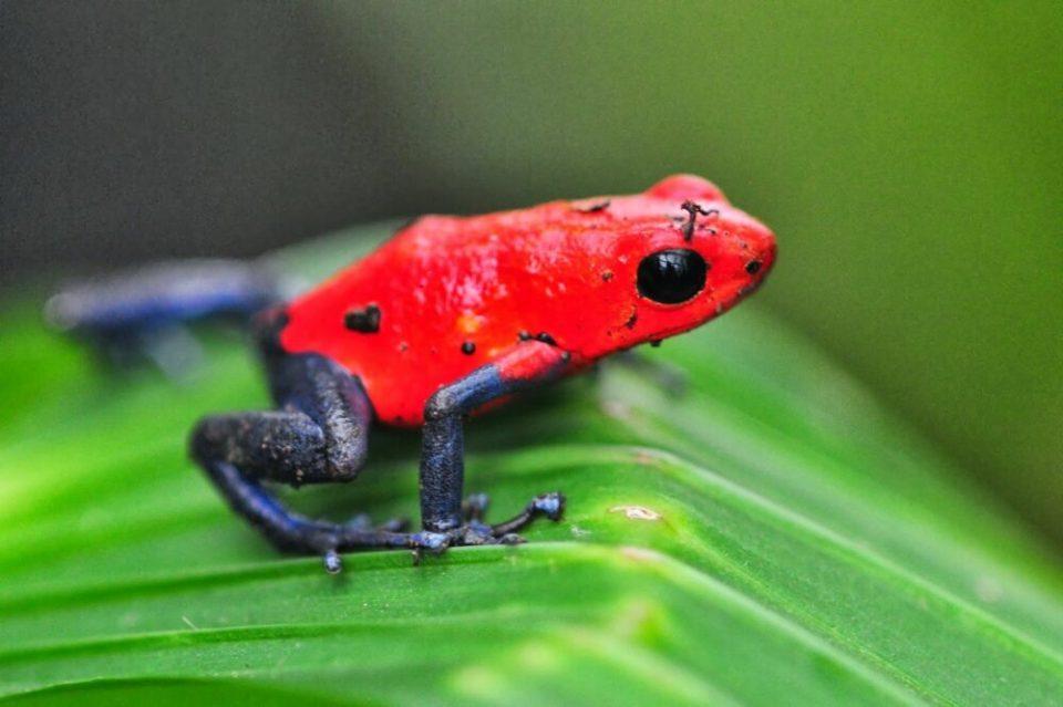 Rana de espalda roja, otra de las ranas más bonitas del mundo