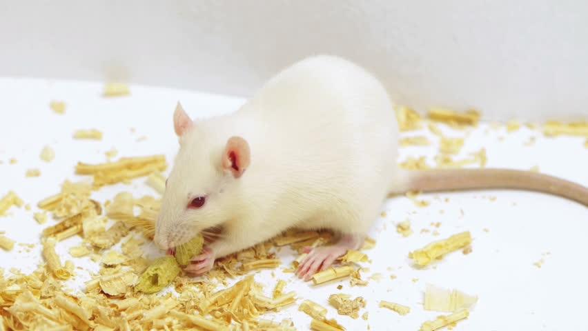 alimentos de las ratas domésticas