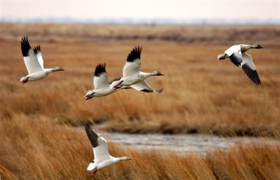 30-Year-Puzzle-Solved-Light-Guides-Flight-of-Migratory-Birds-2