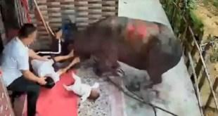 ثور ضخم يهاجم رضيع مع أمه