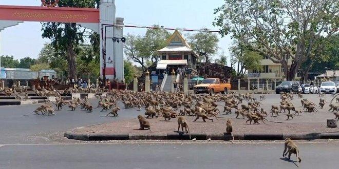مئات القردة تغزو شوارع في تايلاند