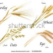 stock-photo-cereals-set-isolated-on-white-background-oats-rye-wheat-barley-310996595