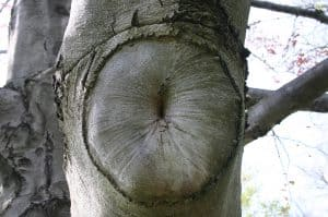 Tree sphincter. Image from flickr - Mark Sadowski