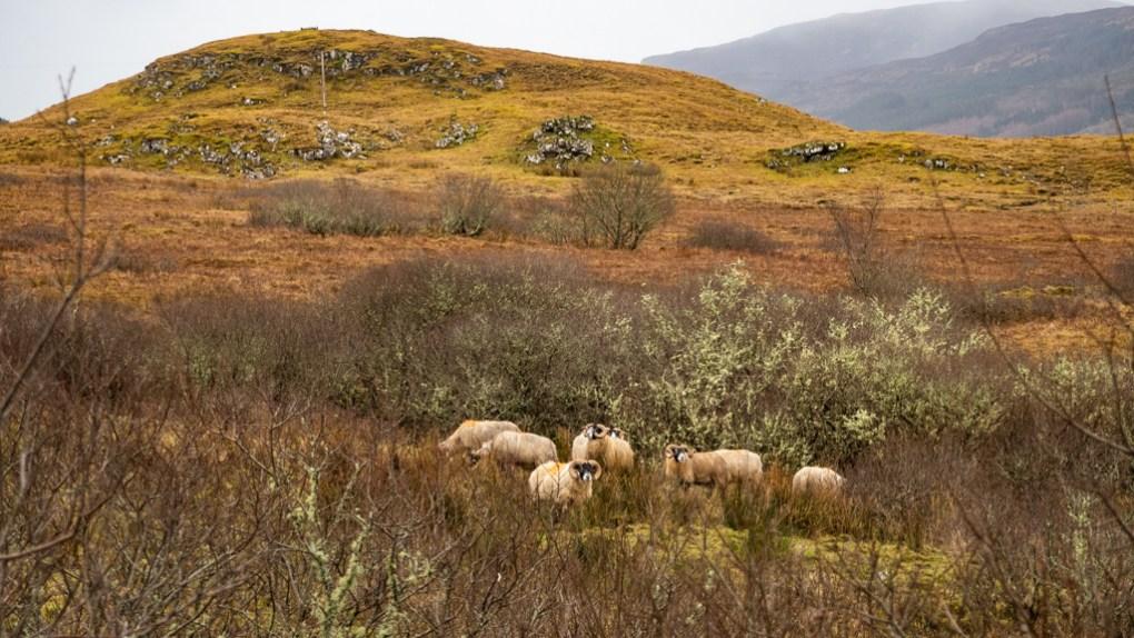 Sheep on the Scorrybreac Circular Path in Portree on the Isle of Skye, Scotland