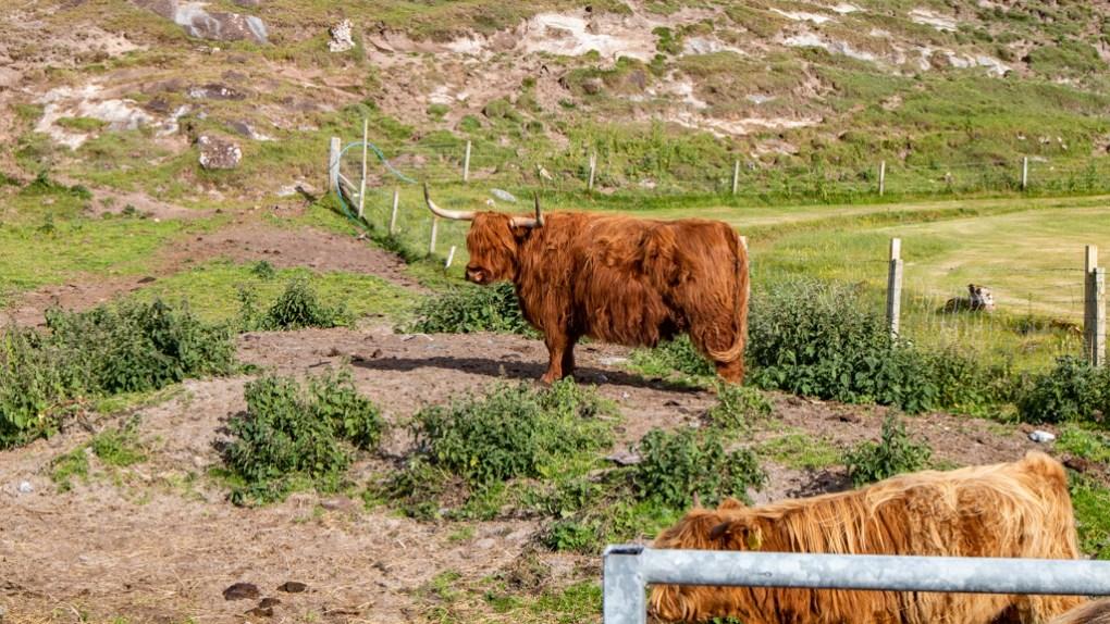 Highland coos near Achmelvich Bay in Scotland