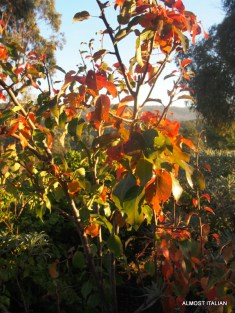 pear tree turns to Autumn