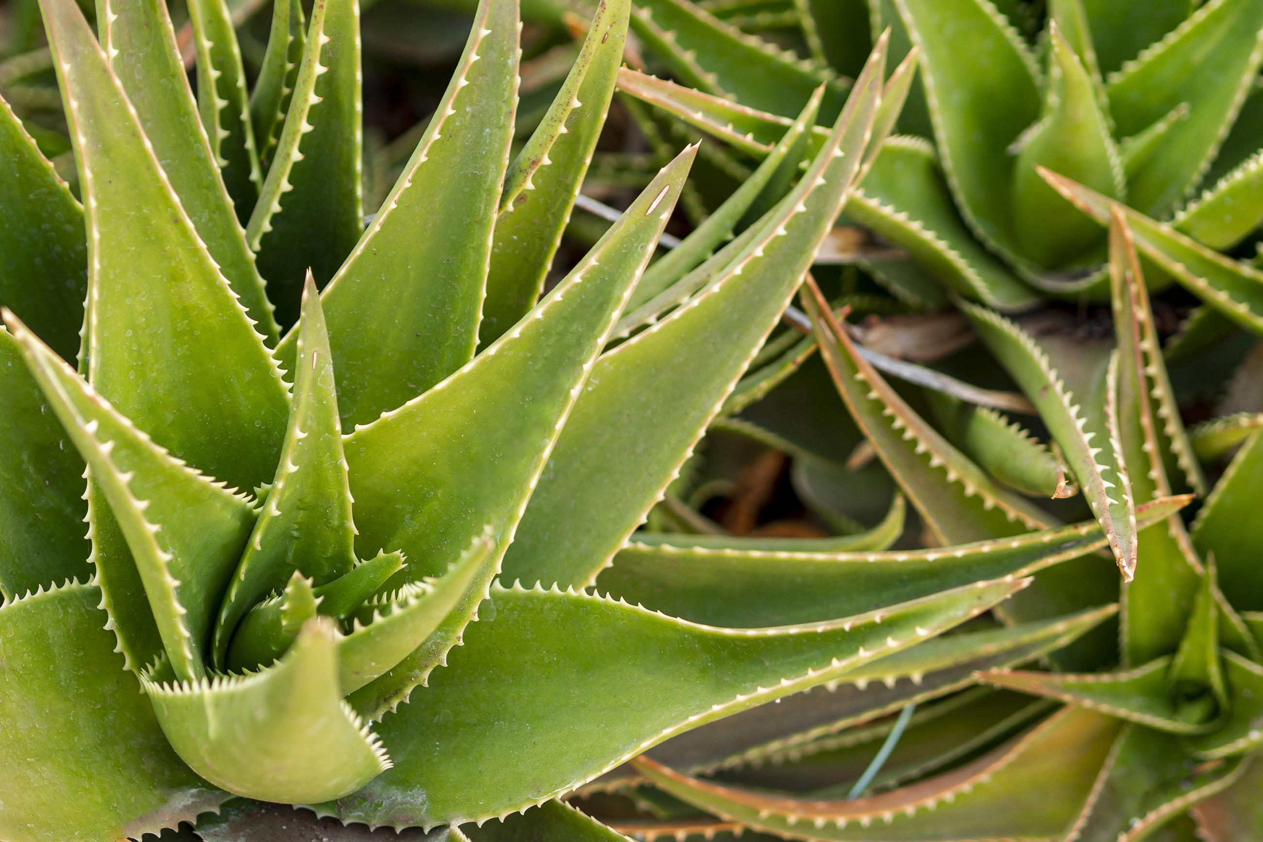 aloe vera plante médicinale