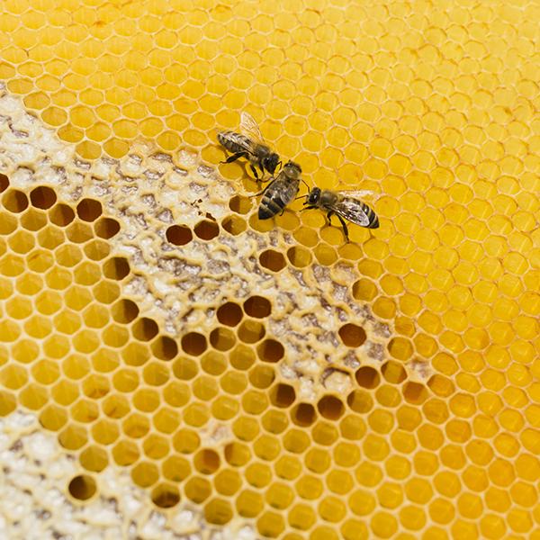 ruche lait abeilles