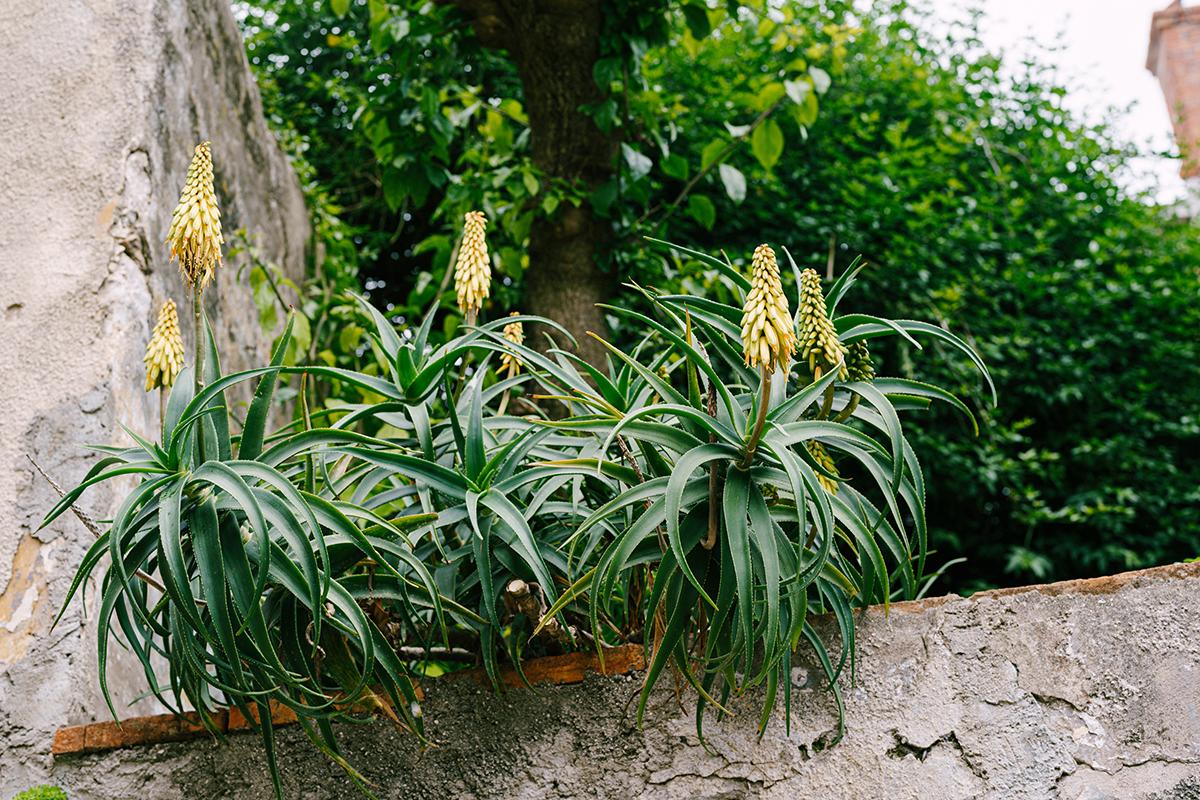 Fleur d'Aloe Vera