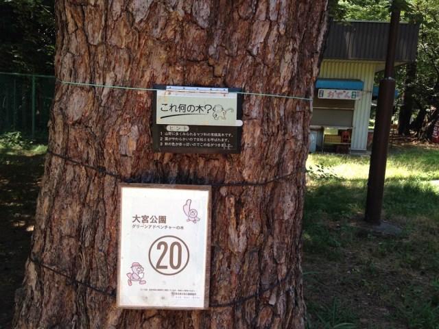 大宮公園(アカマツ)