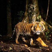 Earth Day 2020 Tiger