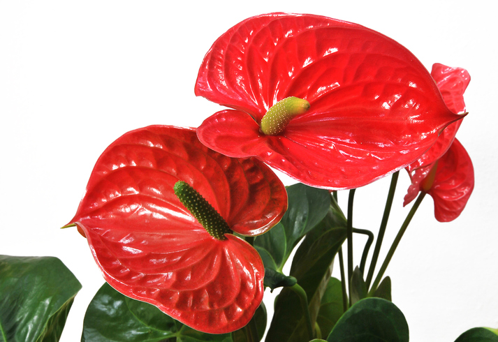 Red anthurium flower on white
