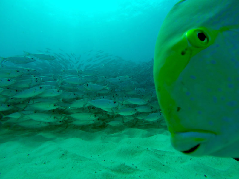 Curious fish while diving in Hawaii.