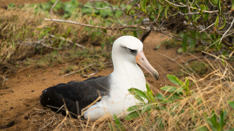 150 Things To Do On Oahu - Laysan albatross at Kaena Point