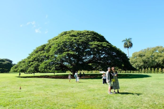 Have you heard about the Hitachi tree in Moanalua Gardens, Oahu, Hawaii? It's a famous tree in Japan and many Japanese tourists make the trek to these privately-owned gardens to see this magnificent tree that's been deemed an