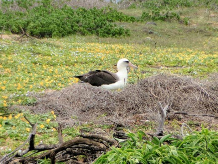 A Laysan albatross keeps a watchful eye on me at Kaena Point.