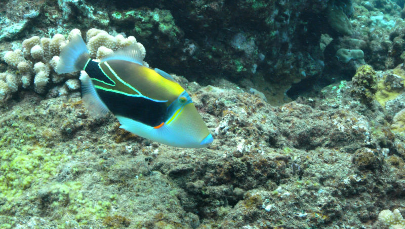 A swimming humuhumunukunukuapaa - the Hawaii state fish. The Best Beaches In Oahu's North Shore For Families.
