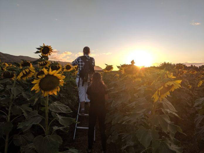 Bring a ladder to the Waialua sunflower fields