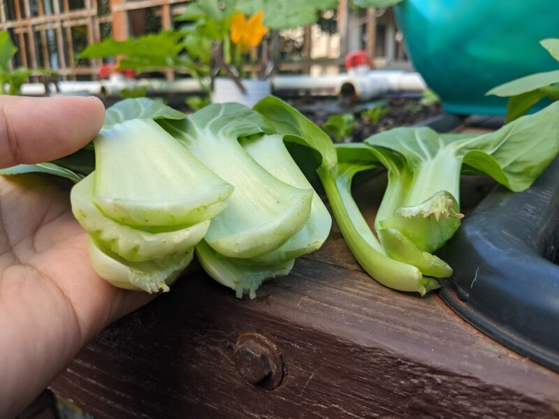 Mini li ren bok choy (on the left) have a really thick stem compared to the Shanghai hybrid bok choy on the right.