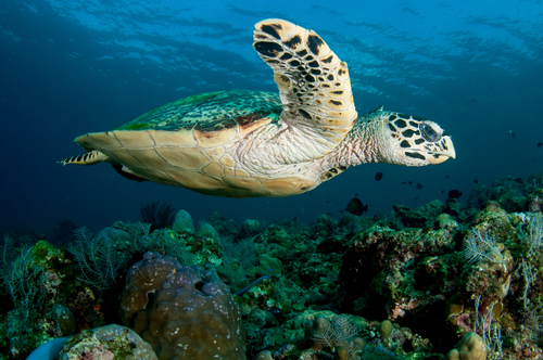 I'm not an expert, but the Hawksbill is aptly named with its birdlike beak. These guys are even more endangered than the Hawaiian green sea turtle so avoid interacting with them as much possible.