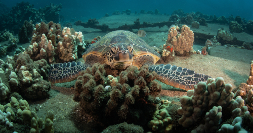 A resting Hawaiian green sea turtle on the bottom of the ocean floor while scuba diving.