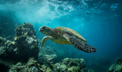 You'll have plenty of chances to see sea turtles both in and out of the water in Maui.