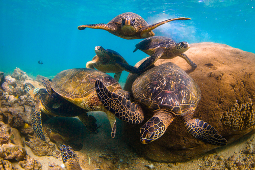 A group of sea turtles have a meeting at their rock.