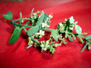 Mistletoe is believed to have fertility powers