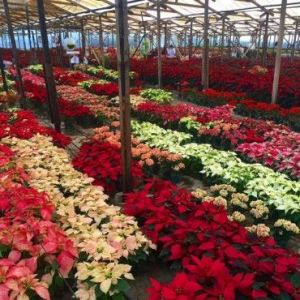 Poinsettias now come in a variety of colors