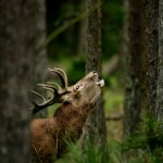 Roaring red deer in clearing