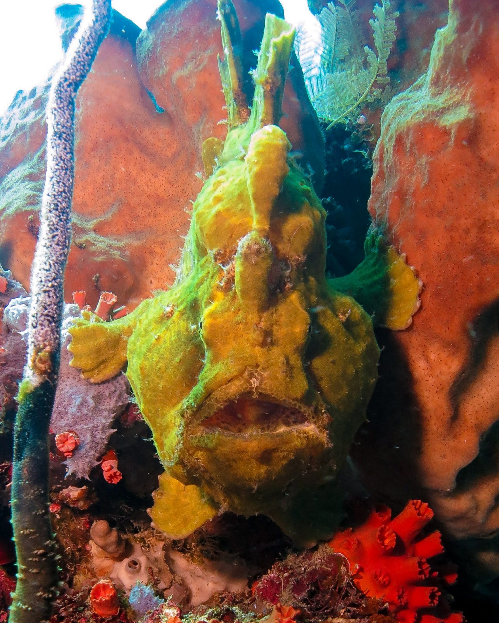 A Lovely Planet - North Sulawesi - Sarah & James - A Giant Frog Fish