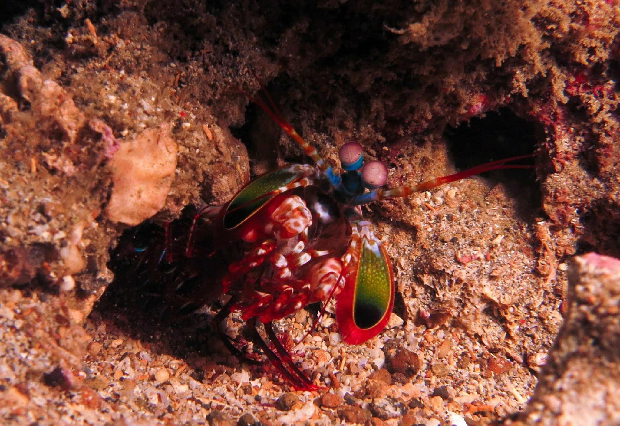 A Lovely Planet - North Sulawesi - Sarah & James - Peacock Mantis shrimp