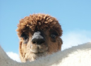 Hi There! Welcome to my alpaca ranch!