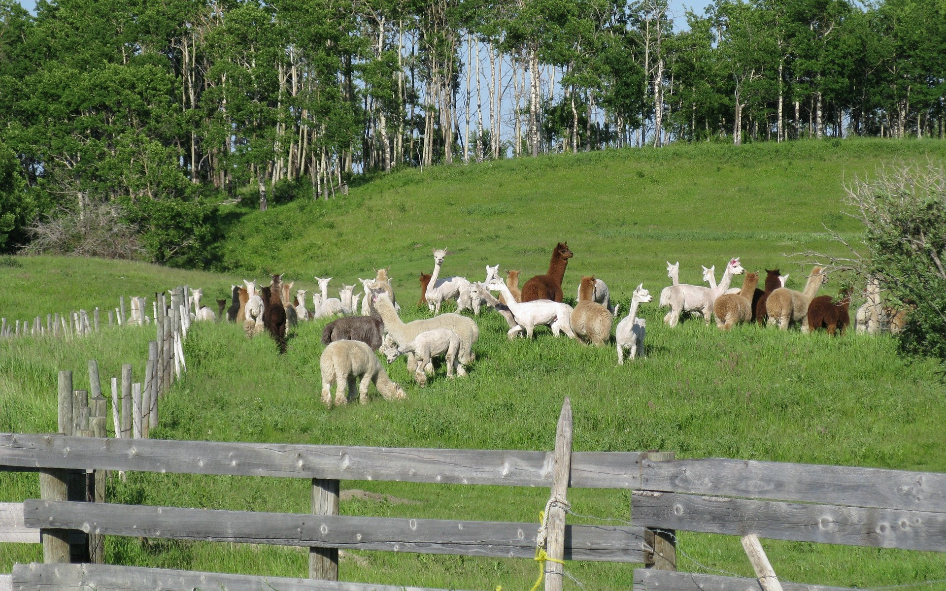 Alpacas for sale in Nevada and California