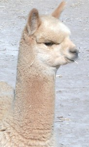 Inara, beautiful female alpaca