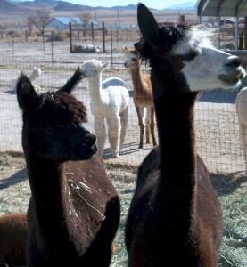 Kara, proven female alpaca