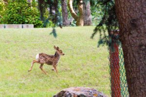 Fawn Running on the Lawn