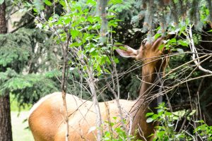 Elk Mama Eating The Trees