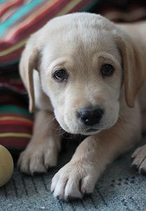 yellow-labrador-retriever-dog