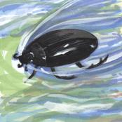water-beetle