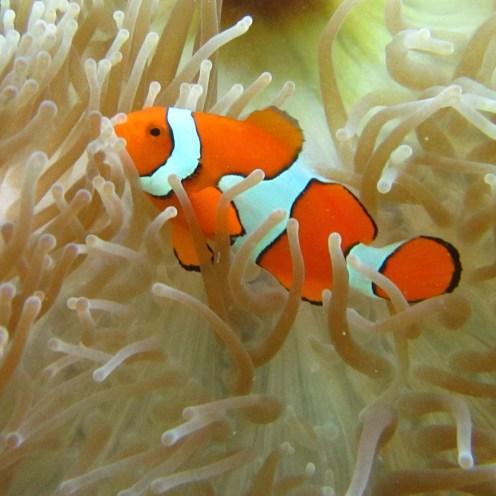 Clown anemone fish,