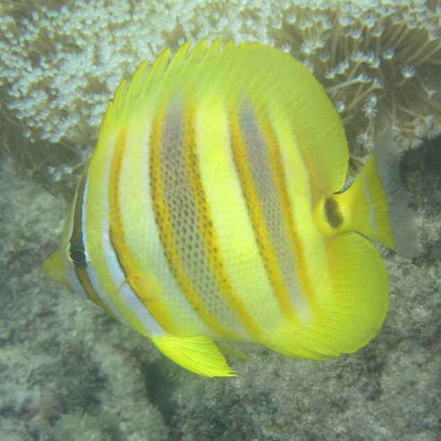 Butterfly fish, ?