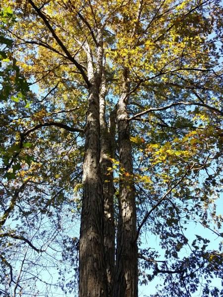 Old Oak Tree In GA