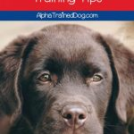 10 Lab Puppy Training Tips Alpha Trained Dog