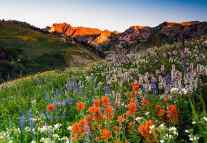 Johnny_Adolphson_Wildflowers in Albion Basin